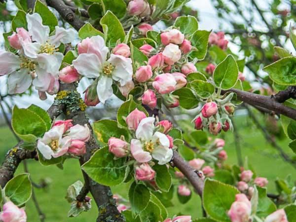 Erste-Apfelblüte-Schutterbach-Ortenau
