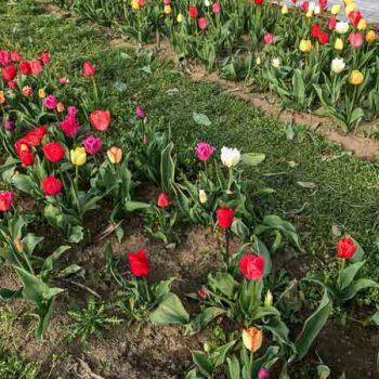 Tulpenfeld zum Selberschneiden