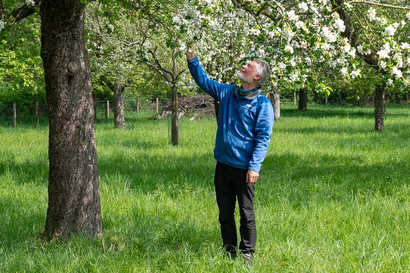 Hans-Apfelblüte