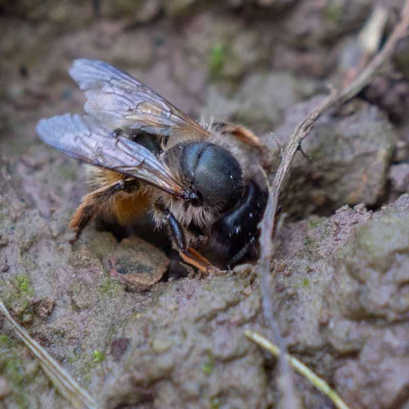 Wildbiene sammelt Material um die Brutröhre zu verschließen.