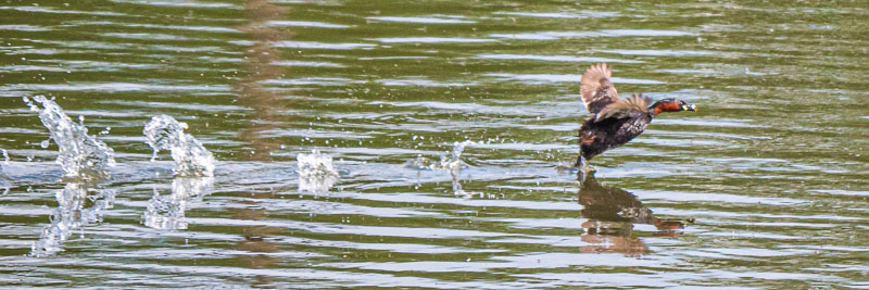 Zwergtaucher läuft über das Wasser der Kläranlage Armstedt